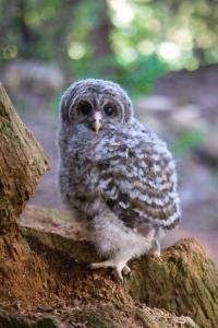 1-baby-barred-owl-david-naman