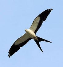swallow-tail-soaring-tn